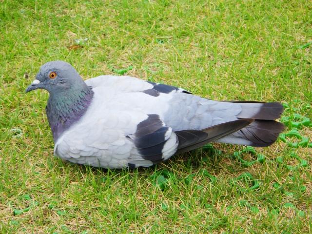 埼玉県の鳥は鳩
